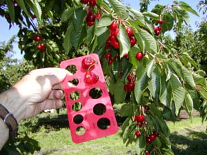 Sizing Cherries