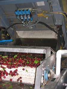 Bins of cherries being dumped into the water